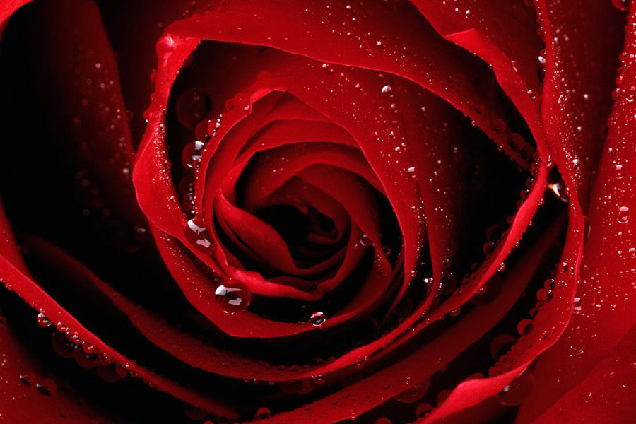 Rose rosse fantasy fantascienza for Quadri con rose rosse